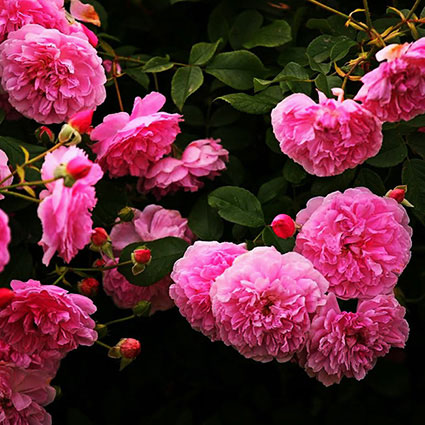 David Austin rozes, pirmais rozu krums, rozu piegade