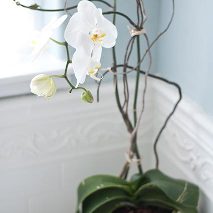 Davana māmiņdienā, mates dienas davana, piegadā savai mātei pārsteigumu, orhideja podina
