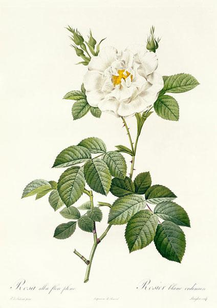 rozes-rosa-alba