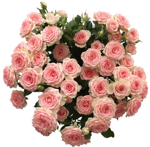 Rozā rozes 8. martā ar piegādi no Zieduveikals.lv