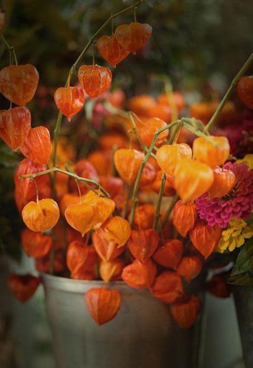 rudens-ziedi-fizalis