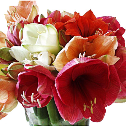 Flowers: Multicolored Amaryllis