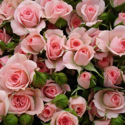 Rozā krūmrozes. Izveido savu rožu pušķi!