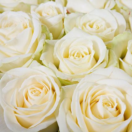 Ziedi: Baltas rozes 70-80 cm