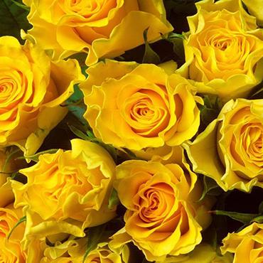 Ziedi: Dzeltenas rozes 50-60 cm
