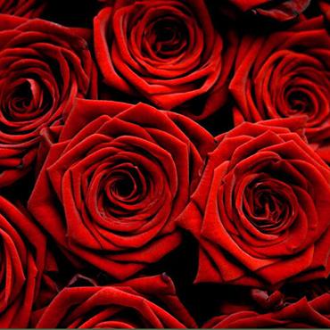 Ziedi: Sarkanas rozes 70 - 80 cm