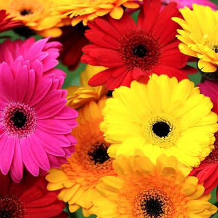 Ziedi: Dažādu krāsu gerberas