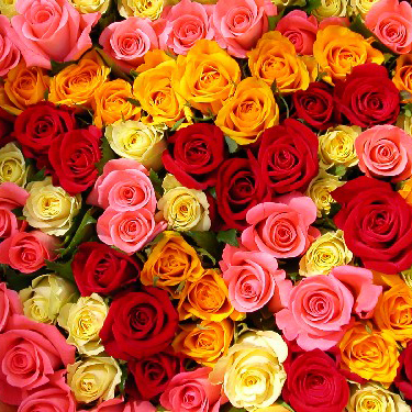 Ziedi: Dažādu krāsu rozes