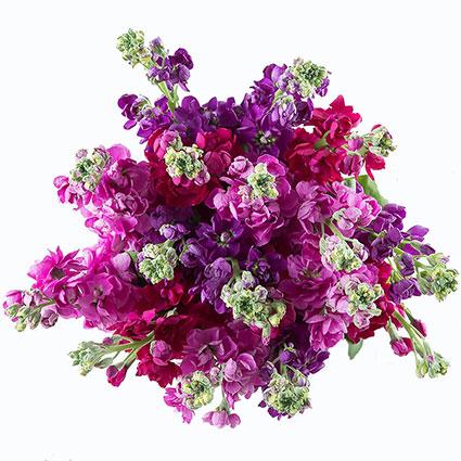 Ziedi ar kurjeru. Ziedu pušķis no 25 lefkojām violeti - rozā toņos.