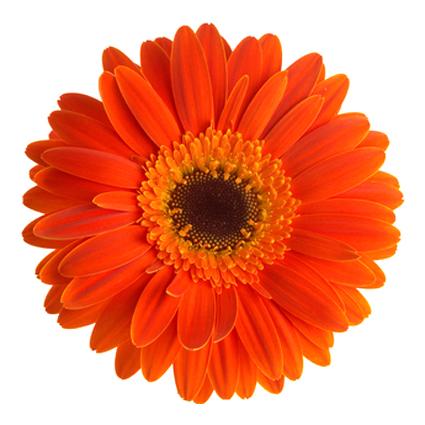 Ziedu piegāde Latvijā. Izvēlies pats gerberu skaitu. Cena norādīta vienam ziedam.   Ziedu klāsts ir ļoti plašs. Var