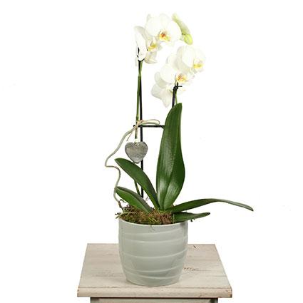 Balta orhideja Phalaenopsis ar sirds formas dekoru un ziedu piegādi visā Latvijā