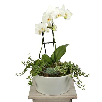 Ziedi. Baltu orhideju, sukulentu un efeju kompozīcija dekoratīvā traukā.  Ziedu klāsts ir ļoti plašs. Var gadīties, ka