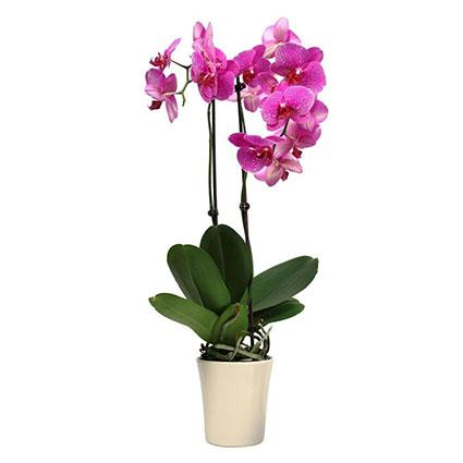 Ziedu piegāde. Rozā orhideja Phalaenopsis ar diviem ziedkātiem dekoratīvā keramikas podā.  Ziedu klāsts ir ļoti plašs. Var
