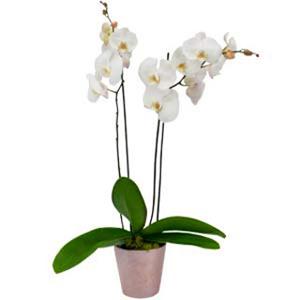 Ziedi Latvijā. Balta orhideja Phalaenopsis ar diviem ziedkātiem dekoratīvā keramikas podā.  Ziedu klāsts ir ļoti plašs.