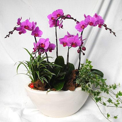 Ziedi Latvijā. Rozā orhideju kompozīcija.  Ziedu klāsts ir ļoti plašs. Var gadīties, ka izvēlētie ziedi var nebūt pieejami