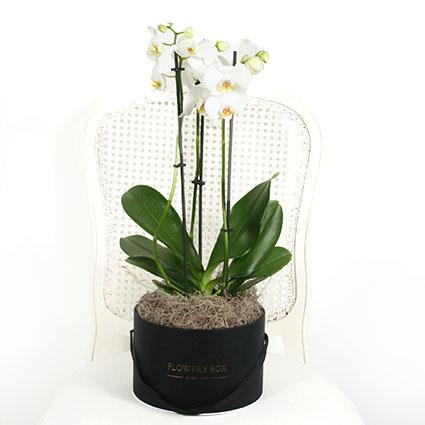 Balta orhideja ziedu kārbā