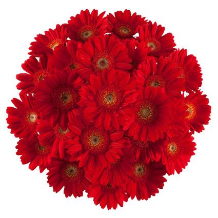 Ziedu pušķī 23 sarkanas gerberas.. Ziedi ar piegādi. Ziedu klāsts ir ļoti plašs