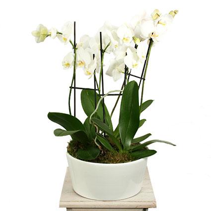 Ziedi ar piegādi. Eleganta baltu orhideju Phalaenopsis kompozīcija baltā, dekoratīvā keramikas traukā.  Ziedu klāsts ir