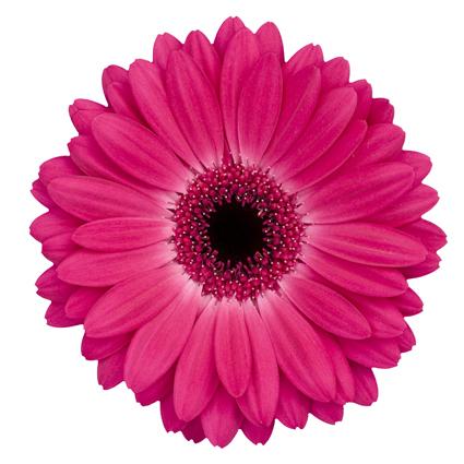 Ziedi ar kurjeru. Izvēlies pats gerberu skaitu. Cena norādīta vienam ziedam.   Ziedu klāsts ir ļoti plašs. Var gadīties,