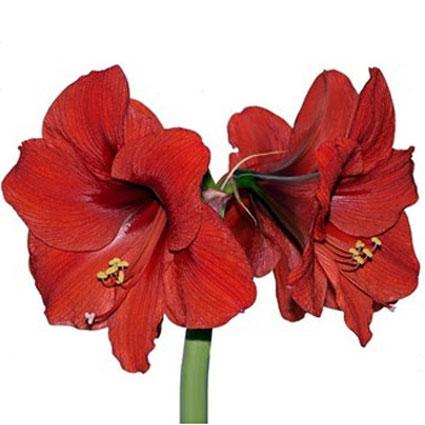 Flowers: Red Amaryllis