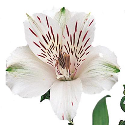 Ziedi Rīga. Izvēlies alstromēriju skaitu. Cena norādīta vienam ziedam.   Ziedu klāsts ir ļoti plašs. Var gadīties, ka