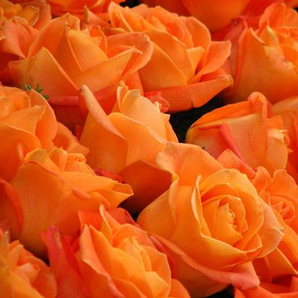 Ziedi: Oranžas rozes 50-60 cm