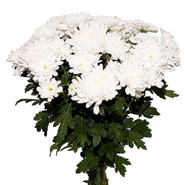 Ziedu piegāde Rīgā. Ziedu pušķis no 11 baltām krizantēmām.  Ziedu klāsts ir ļoti plašs. Var gadīties, ka izvēlētie ziedi