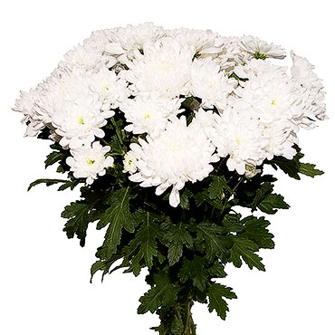Flowers. Bouquet of 11 white hrysanthemums.
