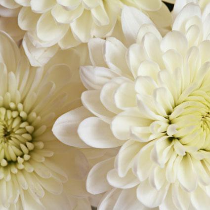 Ziedi: Baltas krizantēmas