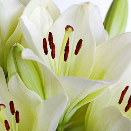 Ziedi: Baltas lilijas