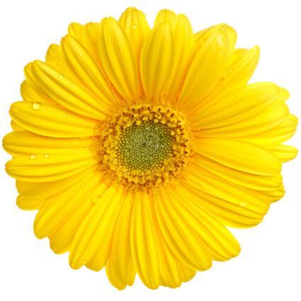 Ziedi: Dzeltenas gerberas