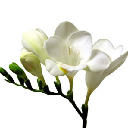 Flowers delivery. Price is indicated for one freesia.