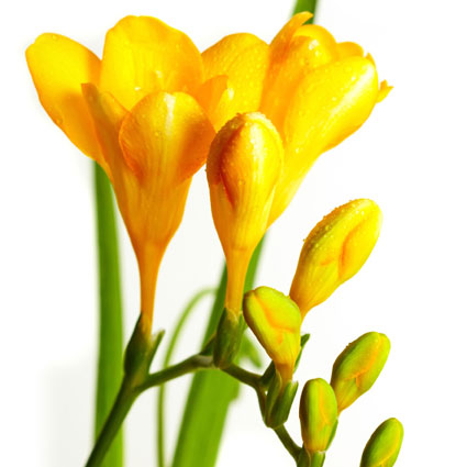 Ziedi: Dzeltenas frēzijas