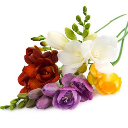 Ziedi: Dažādu krāsu frēzijas. Izveido savu frēziju pušķi