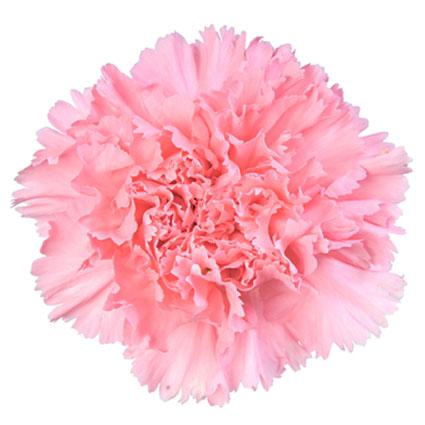 Ziedi: Rozā neļķes