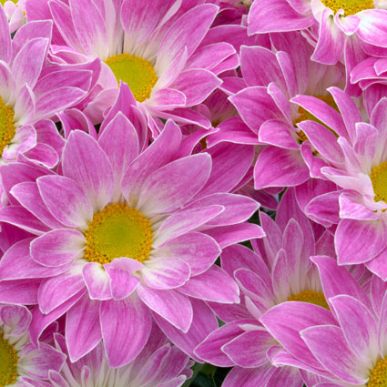 Ziedi: Rozā krizantēmas
