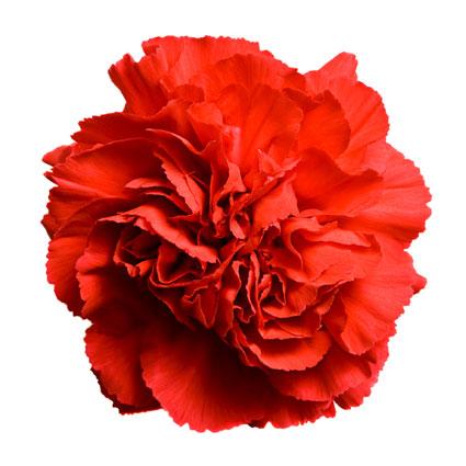 Ziedi: Sarkanas neļķes. Izveido savu neļķu pušķi