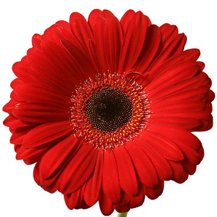 Ziedi: Sarkanas gerberas