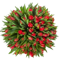 101 sarkana tulpe pušķī