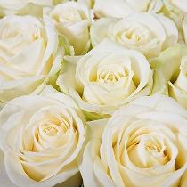 Ziedi: Baltas rozes