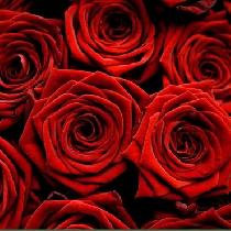 Ziedi: Sarkanas rozes