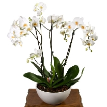 Ziedu kompozīcija: Valdzinošās skaistules orhidejas