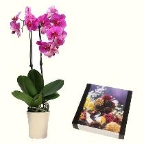 Розовая орхидея Phalaenopsis  и шоколадные трюфели