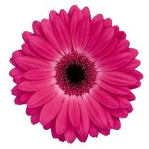 Ziedi: Tumši rozā gerberas