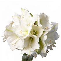 Ziedi: Balts amarillis