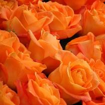 Ziedi: Oranžas rozes. Izveido savu rožu pušķi!