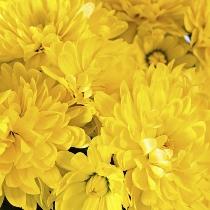 Ziedi: Dzeltenas krizantēmas