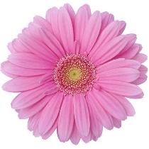Ziedi: Rozā gerberas