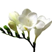 Ziedi: Baltas frēzijas