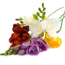 Ziedi: Dažādu krāsu frēzijas